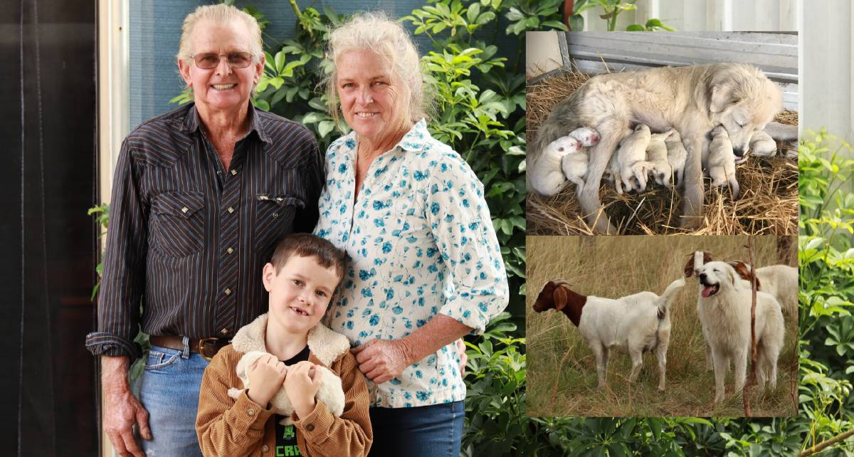 SURPRISE: Dave Ashenden with grandson Mason and wife Linda with one of the 11 pups from Maremma mum Eska, top, with dad Eddie proud as punch with his goat friends and charges, bottom. Photo: Jacinta Dickins