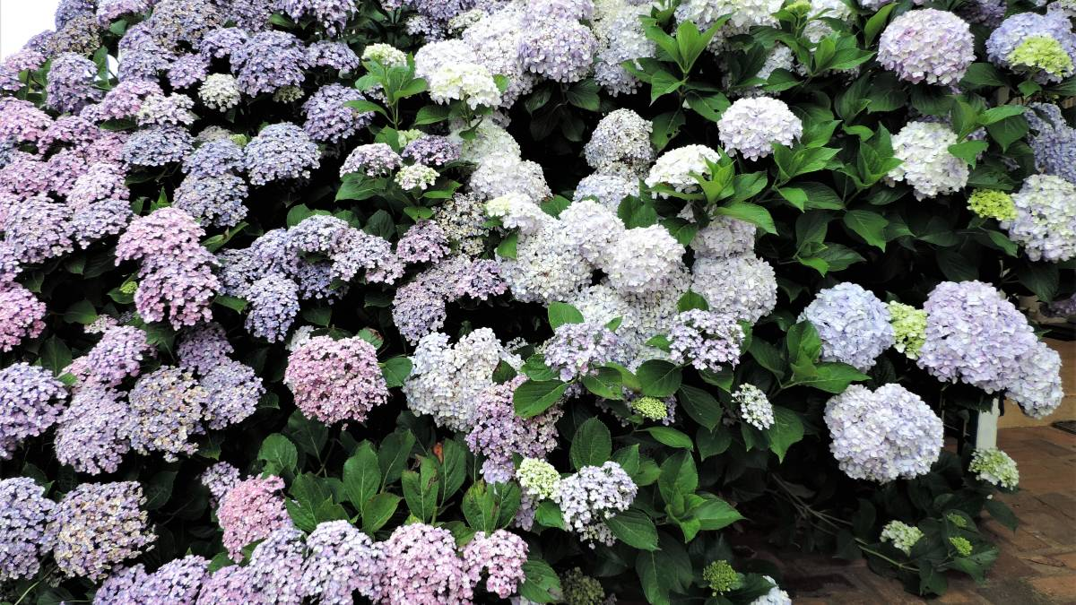 Hydrangeas in full bloom and ideal for picking for summer flower arrangements.