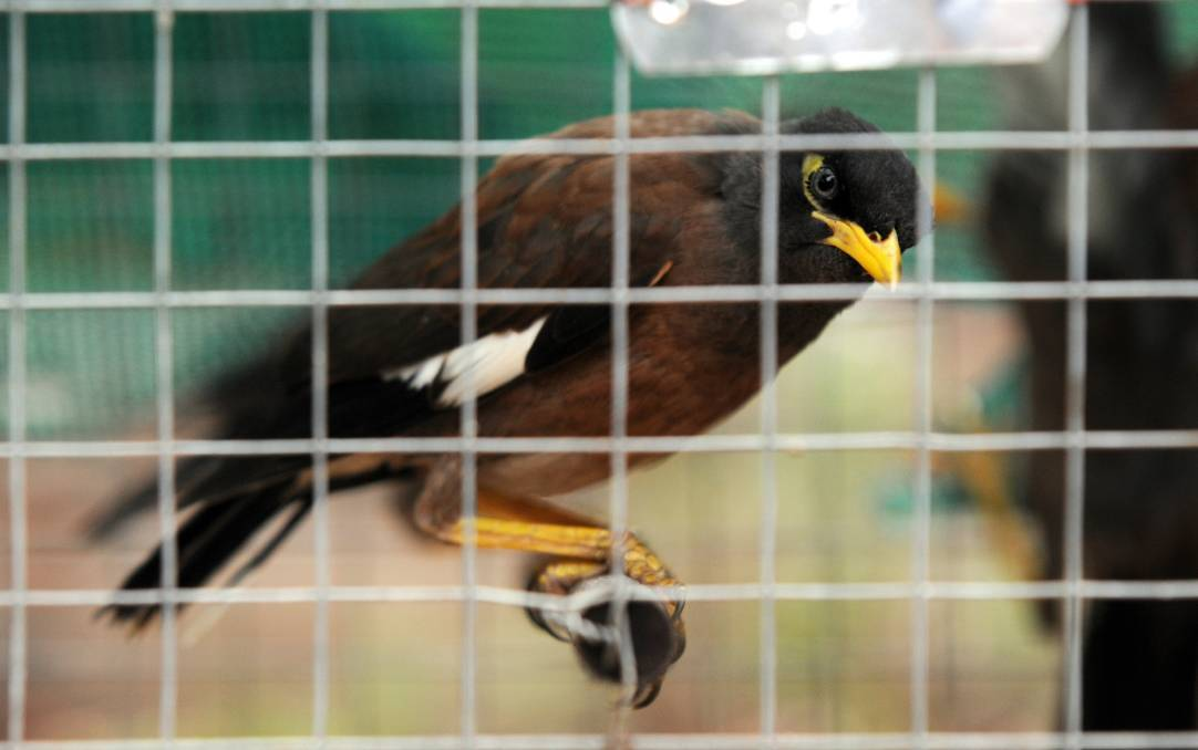 LOCKED UP: Indian myna birds are becoming increasingly problematic in Bendigo, a Landcare group has warned. Picture: KATE LEITH